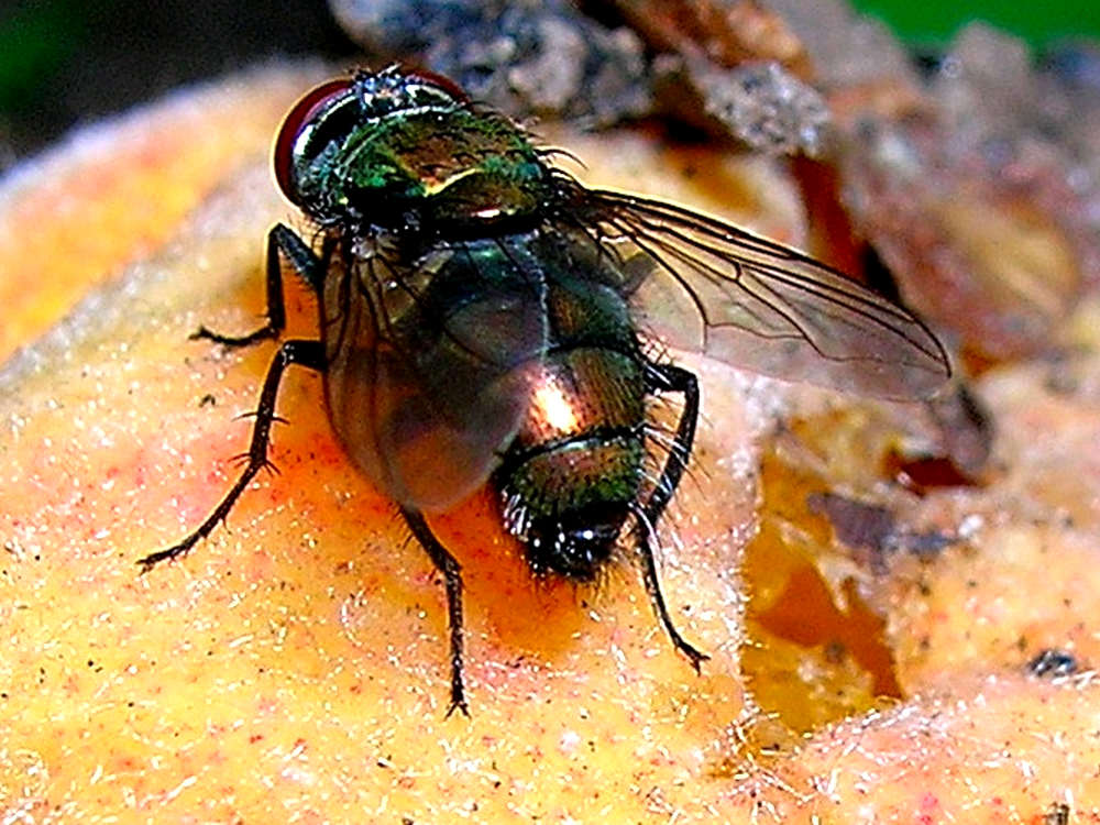 Peach Fruit Fly Pheromone | FLORA IPM